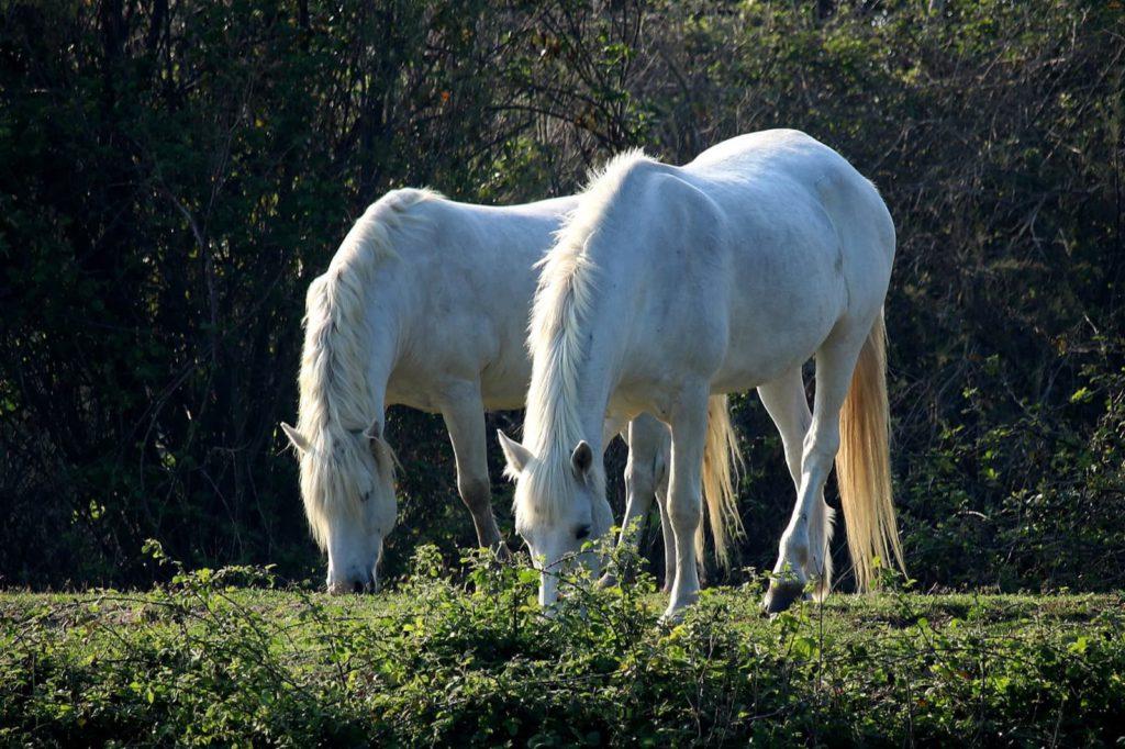 Cavalli del Delta, Bosco di Volano | Ph. Alessandra Pollina WLE2019