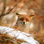 Volpe, Vulpes vulpes – Ph. Roberto Sauli via Parco delle Foreste Casentinesi