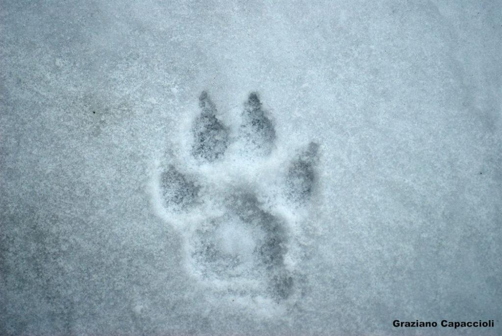 Orma di Lupo, Canis lupus – Ph. Graziano Capaccioli via Parco delle Foreste Casentinesi