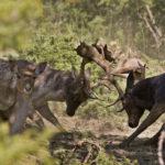 Combattimento daini – Ph. G. Giacomini via Parco delle Foreste Casentinesi