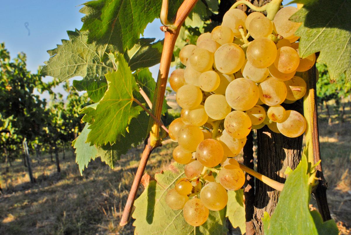 Albana di Romagna | Photo © Consorzio Vini di Romagna