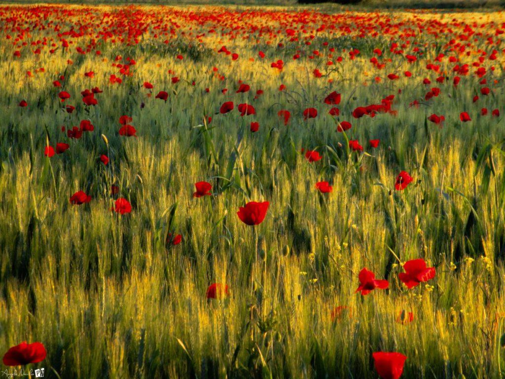 Poppy Fields (Formigine)