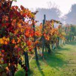 Fall Foliage, Vigneto a Scandiano | ph. @embee178