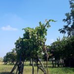 I Love Francigena – vigne, ph. Celestina Paglia