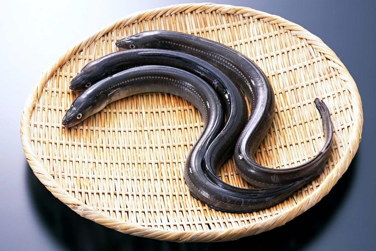 Comacchio Eel