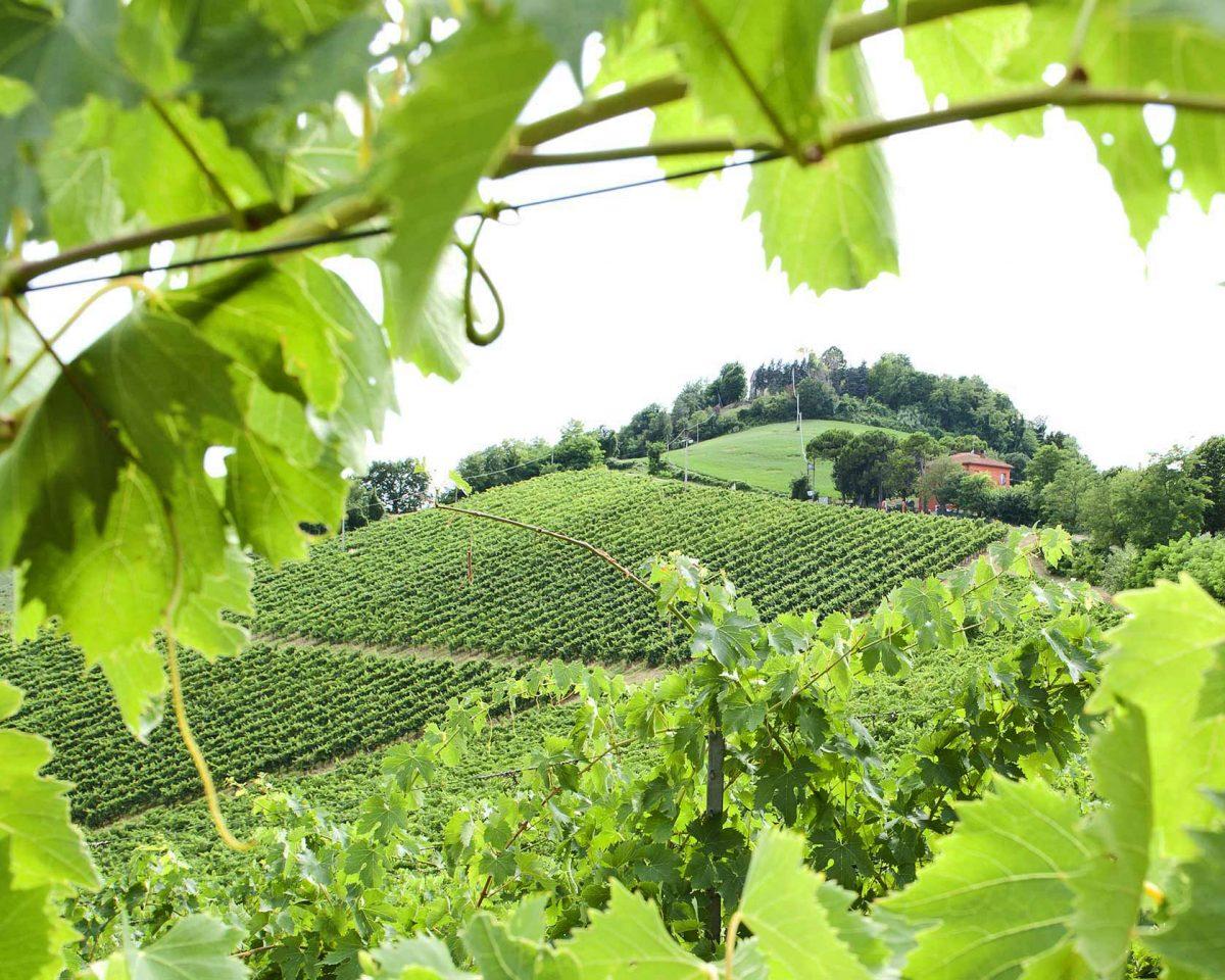 Vitigni di Romagna   Foto © Consorzio Vini di Romagna