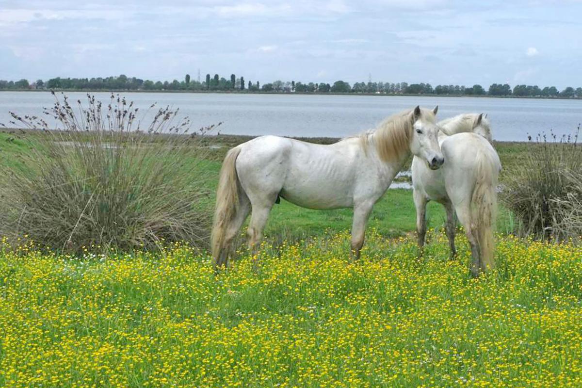 Delta/Camargue horses at The Boscoforte Peninsula | Photo © RavennaTourism