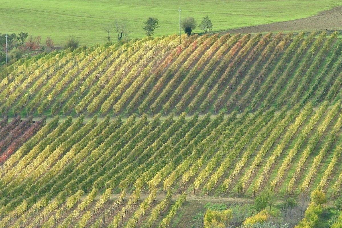 Pagadebit vines | Photo © Fattoria Ca' Rossa