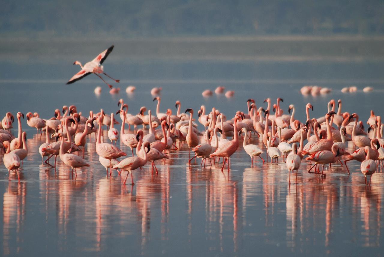 Flamingos in Po Delta Park