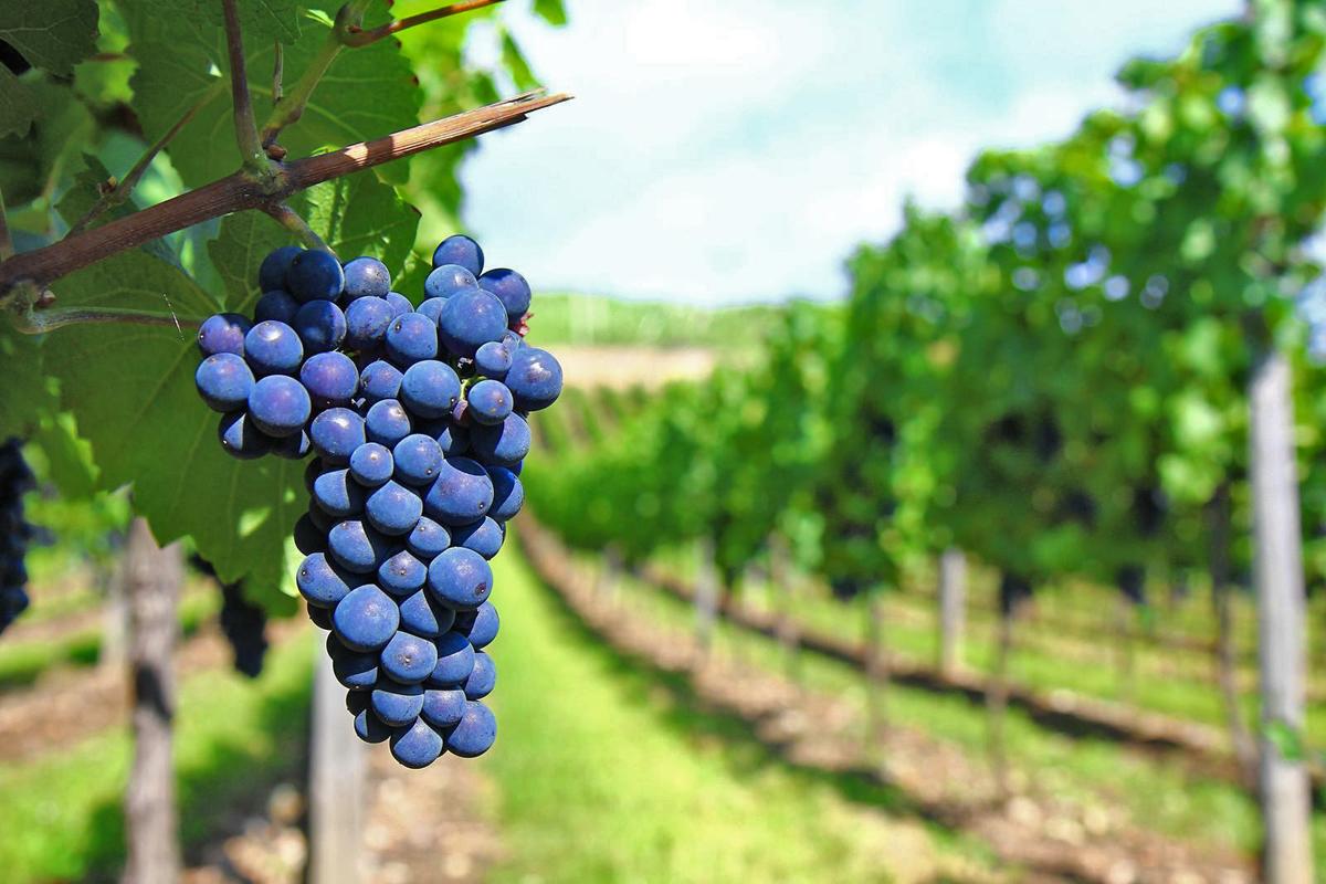 Sangiovese vines | Photo © Gagarin Magazine