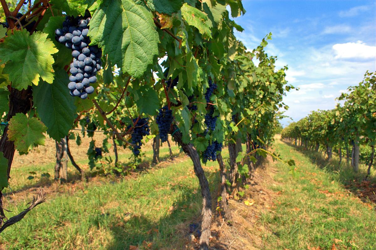 Vines of Cagnina | Photo © Blueblazer